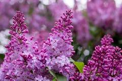 Lilac bloem Met bokehachtergrond Stock Afbeeldingen