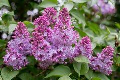 Lilac bloem Met bokehachtergrond Royalty-vrije Stock Afbeelding