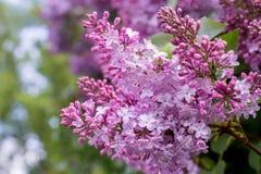 Lilac bloem Met bokehachtergrond Stock Foto