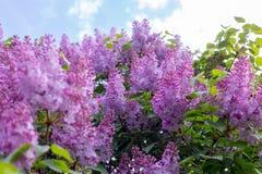 Lilac bloem Met hemelachtergrond Royalty-vrije Stock Fotografie