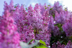 Lilac bloem Met hemelachtergrond Stock Afbeelding