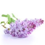 Lilac bloem Royalty-vrije Stock Foto's