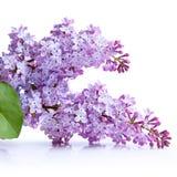 Lilac bloem Stock Afbeeldingen