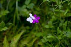 Lilac bloem op een achtergrond Stock Foto