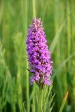 Lilac bloem op een weide Stock Foto's