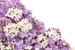 Lilac bloem op witte achtergrond wordt geïsoleerd die Hoogste mening stock foto's