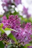 Lilac bloem verticaal Met bokehachtergrond Royalty-vrije Stock Afbeelding