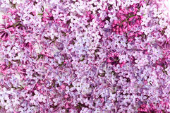 Lilac bloemblaadje op witte achtergrond Royalty-vrije Stock Afbeelding