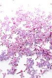 Lilac bloemblaadje op witte achtergrond Stock Fotografie