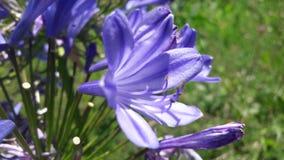 Lilac bloemen Stock Foto