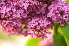 Lilac bloemen Royalty-vrije Stock Fotografie