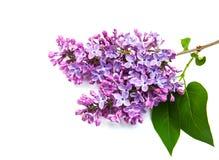 Lilac bloemen Royalty-vrije Stock Afbeeldingen