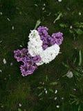 Lilac bloemen Stock Foto's