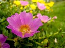 Lilac bloemen in bloei Royalty-vrije Stock Afbeelding
