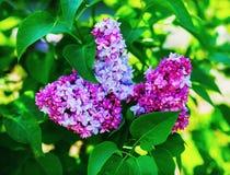 Lilac bloemen en bladeren royalty-vrije stock afbeelding