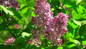 Lilac bloemen 4K stock videobeelden