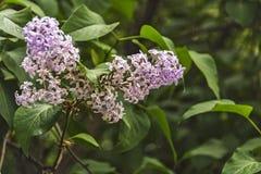 Lilac bloemen op de takken van een lilac struik Royalty-vrije Stock Fotografie