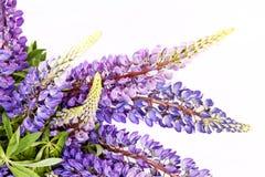 Lilac bloemen op een witte achtergrond royalty-vrije stock foto