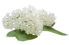 Lilac bloemen op een witte achtergrond Royalty-vrije Stock Afbeelding