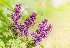 Lilac Bloemen op Groene Pastelkleur stock afbeeldingen