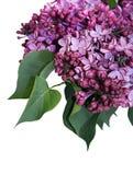Lilac bloemen op witte achtergrond Stock Fotografie