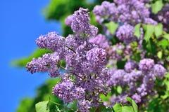 Lilac bloemen over blauwe hemelachtergrond Royalty-vrije Stock Afbeelding