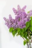 Lilac bloemen over witte achtergrond Royalty-vrije Stock Afbeelding
