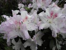 Lilac bloemen, Purpere bloemen Tot bloei komende boom in de lente Nam bloemen, roze bloemen, roze azalea's toe Royalty-vrije Stock Afbeeldingen
