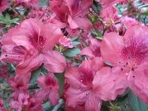 Lilac bloemen, Purpere bloemen Tot bloei komende boom in de lente Nam bloemen, roze bloemen, roze azalea's toe Royalty-vrije Stock Fotografie