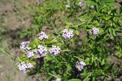 Lilac bloemen van daphne in clusters worden gegroepeerd die royalty-vrije stock afbeelding