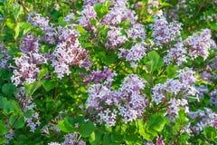 Lilac bloemenbloei in de tuin Stock Foto
