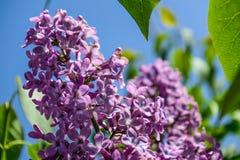 Lilac bloemenclose-up tegen hemel Stock Fotografie