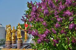 Lilac Bloesem Royalty-vrije Stock Foto