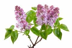 Lilac bloesem op wit Royalty-vrije Stock Afbeelding