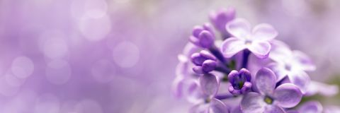 Lilac bloesem van de bloemenlente Royalty-vrije Stock Afbeelding