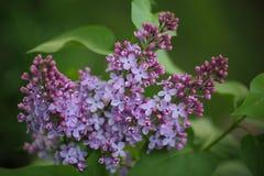 Lilac Bloesembloem royalty-vrije stock foto