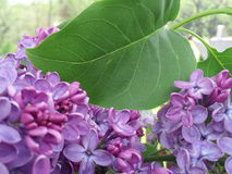 Lilac bloom Royalty Free Stock Images