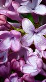 Lilac bloom. Lavender Lilacs in bloom.- Victor, MT Stock Photos