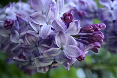 Lilac. In bloom, Moscow, Russia Royalty Free Stock Image