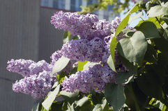 Lilac in bloom stock photo