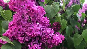 Lilac bloom on a sunny day. Lilac bloom on a sunny day stock video