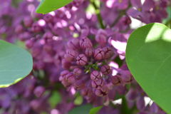 Lilac. Blooming beautiful lilacs in sunshine Royalty Free Stock Photo