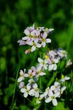 Lilac blooming Cardamine pratensis against the blurred natural background of a rural field. Cardamine pratensis (Cuckoo Flower or Lady's Smock Royalty Free Stock Image