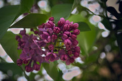 Lilac blooming flowers Royalty Free Stock Images
