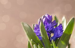 Lilac blooming hyacinth on blurred background with copy space royalty free stock photo