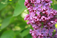 Lilac Stock Photography