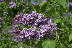 Lilac. Blooming may flowers - a lilacs Stock Photography