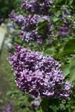 Lilac. Blooming may flowers - a lilacs Stock Photos