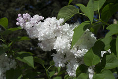 Lilac. Blooming may flowers - a lilacs Royalty Free Stock Photography