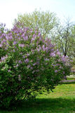 Lilac blooming. Morning in park when lilacs bloomed. Spring has arrived green light and heat. Popcorn smile appeared spontaneously in the sun. Young trees and a royalty free stock photography
